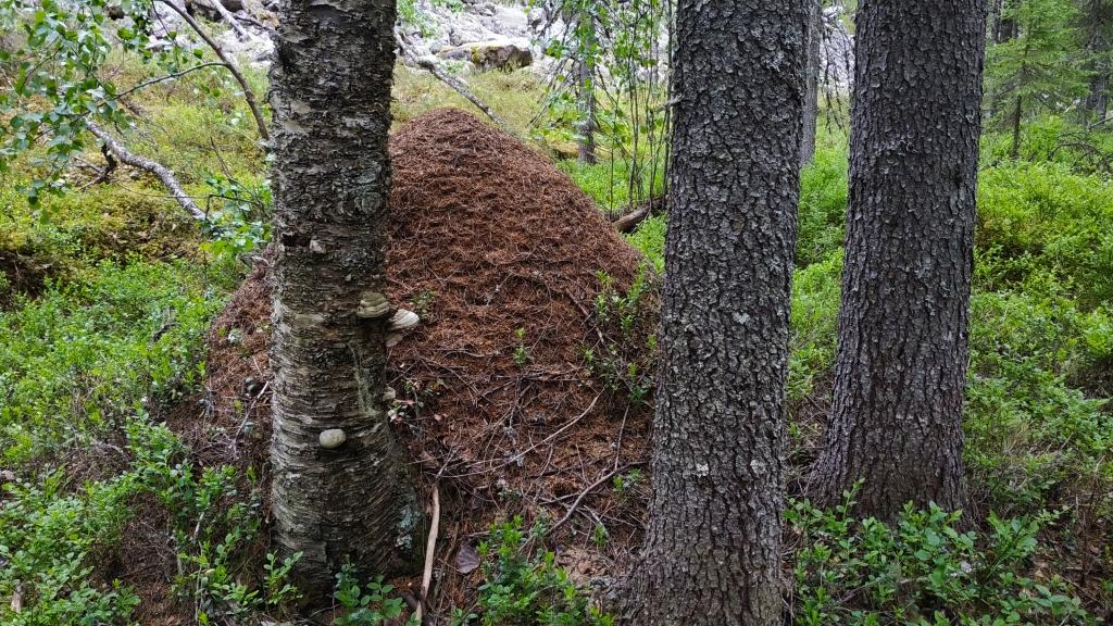 Hormigas en Finlandia