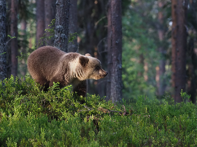 ver osos en finlandia