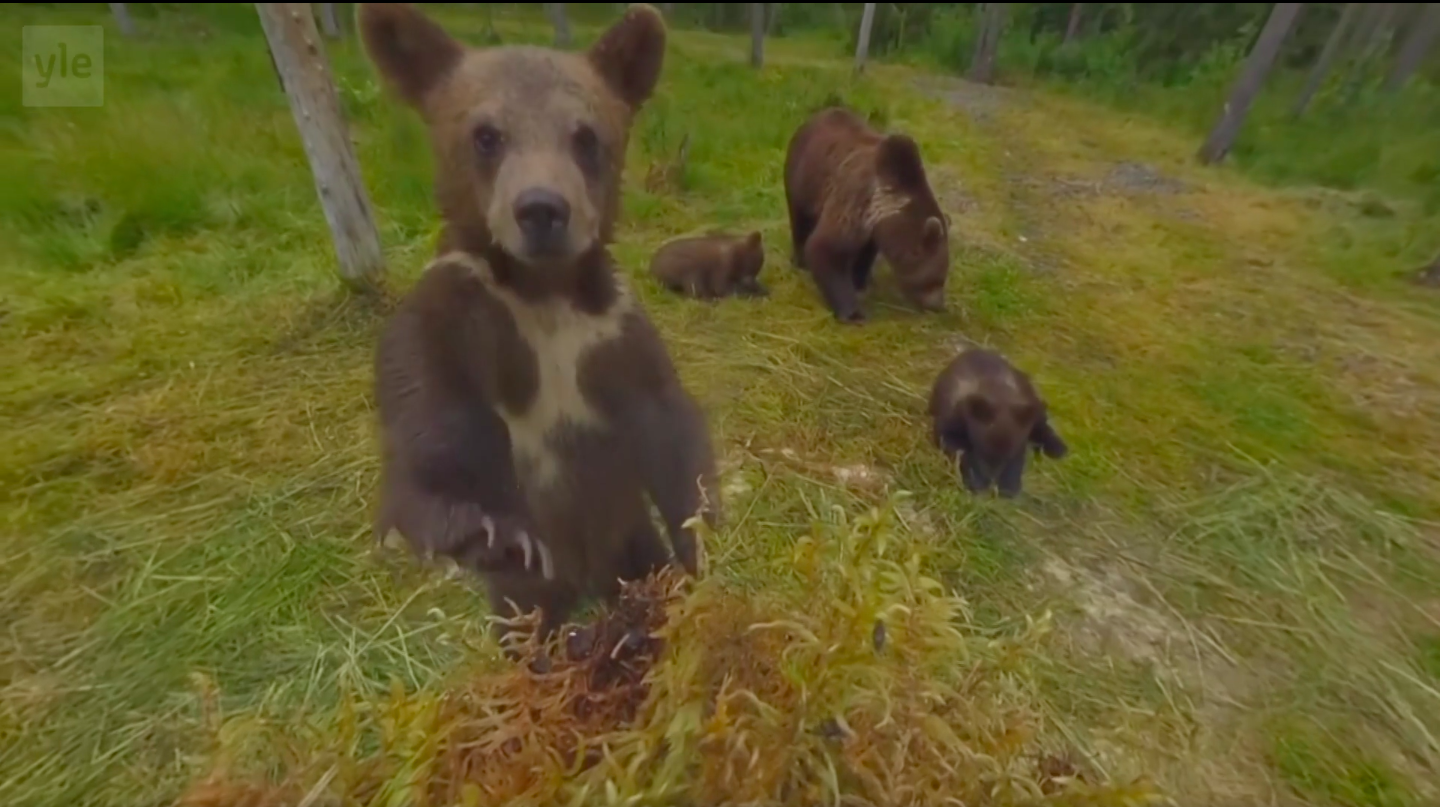 yle live streaming bears finland
