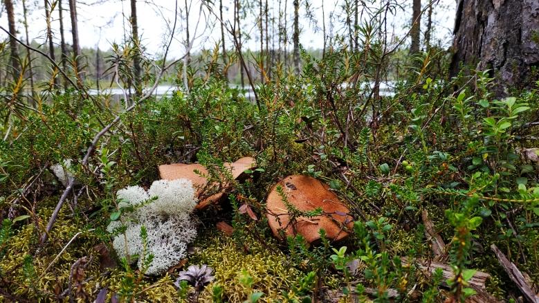 setas bosque finlandes