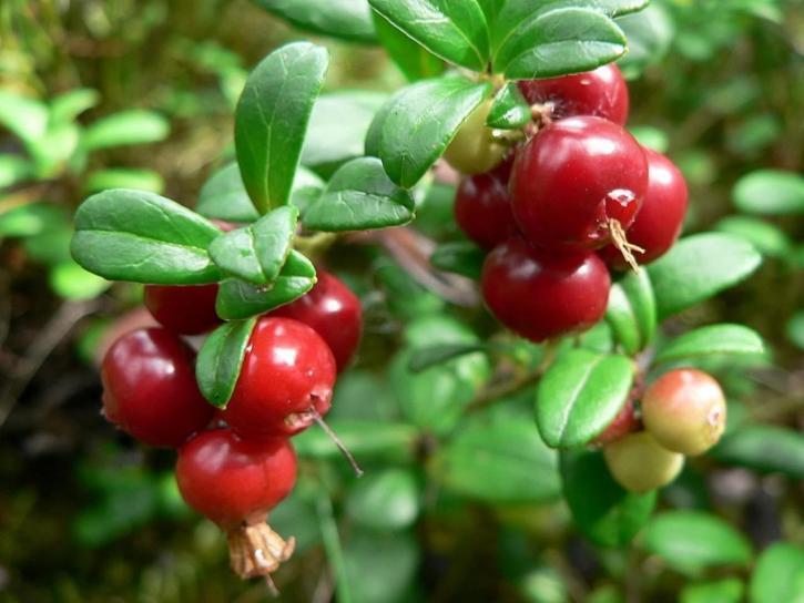 arandano rojo bayas finlandesas